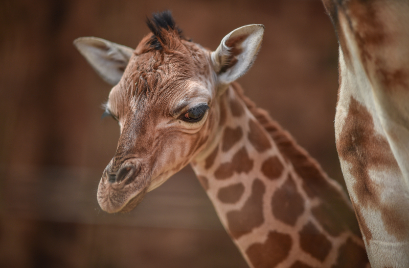 6_Giraffe calf born at Chester Zoo - first pictures (1)
