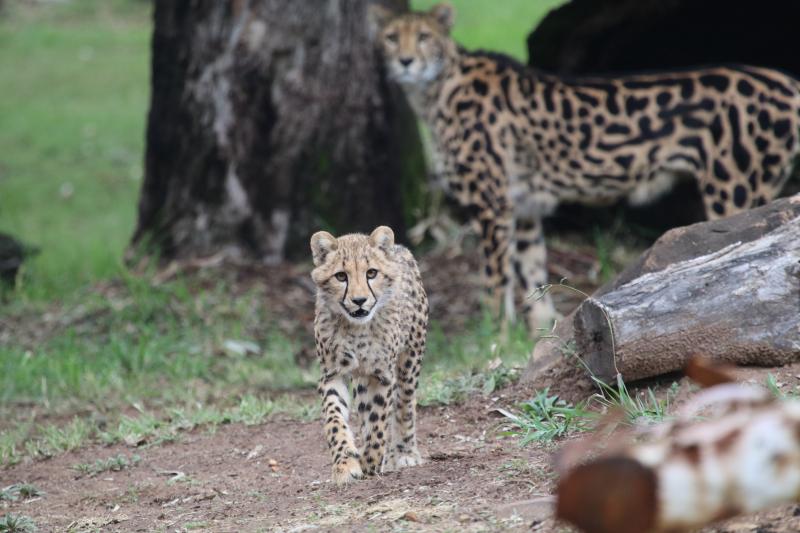 Cheetah cubs on exhibit April 2017 SM (9)