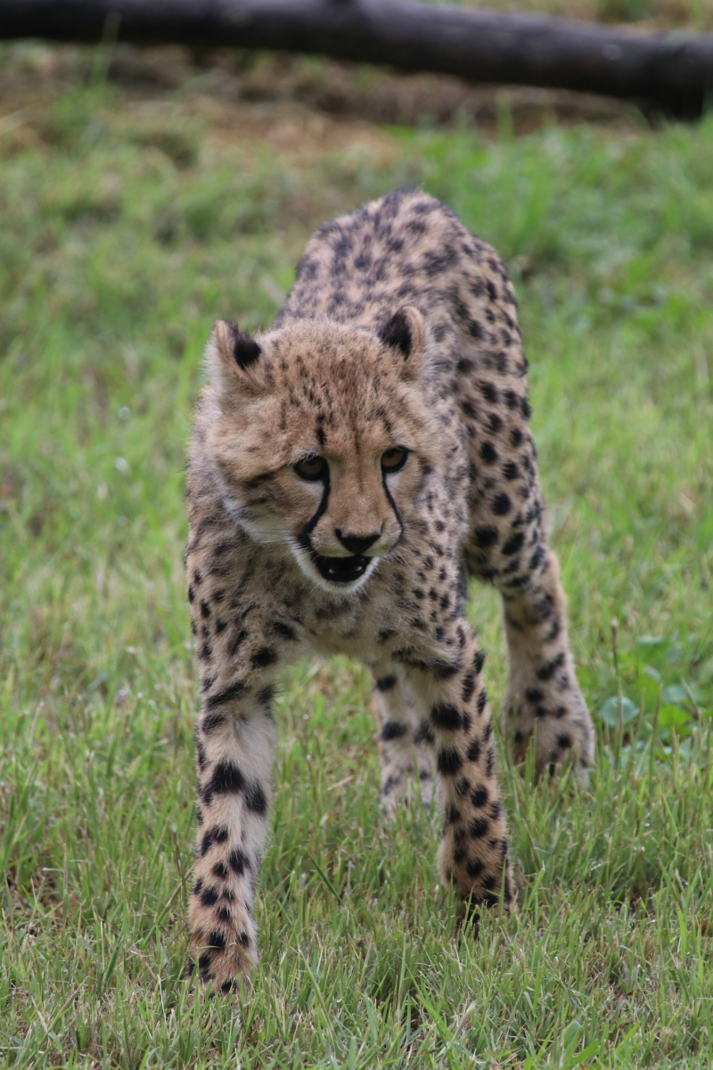 Cheetah cubs on exhibit April 2017 SM (1)