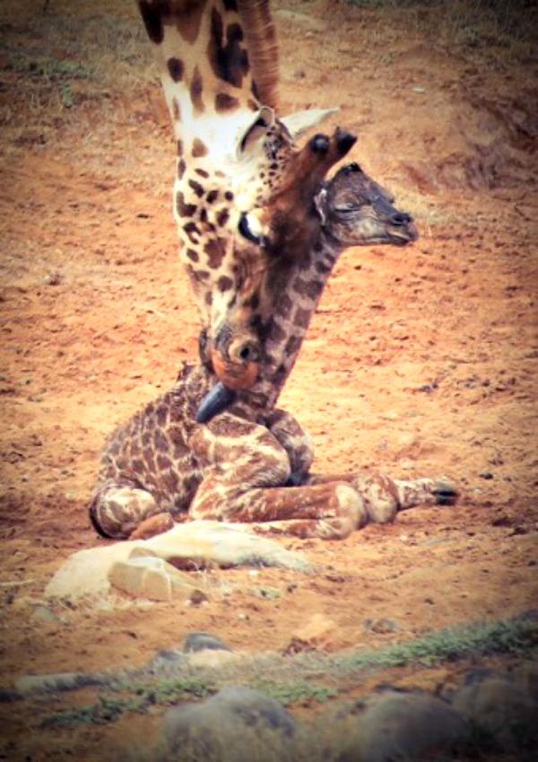 Calf and mum. Photo credit Simon Dower  Zoos SA 2