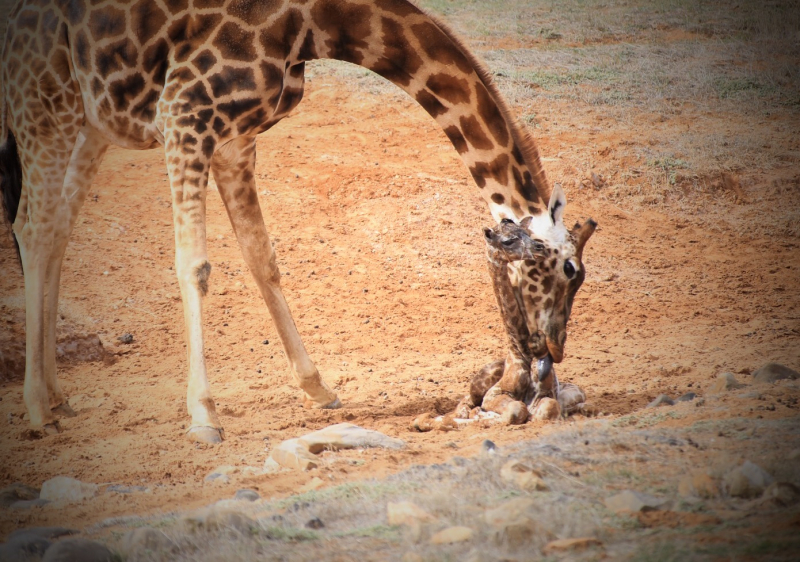 Giraffe calf and mum. Photo credit Simon Dower  Zoos SA