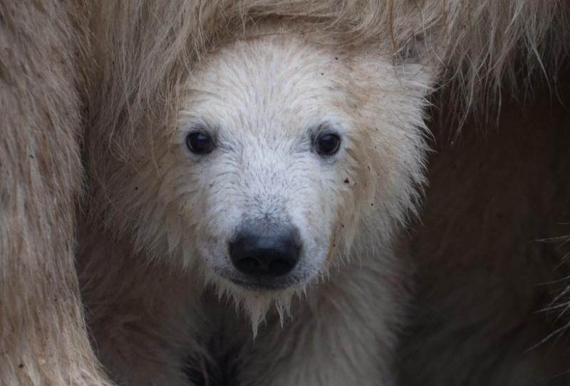 4_Anana's polar-bear-cub-slide-29521c932bd2f67d7bdc2ff0000bf4b43