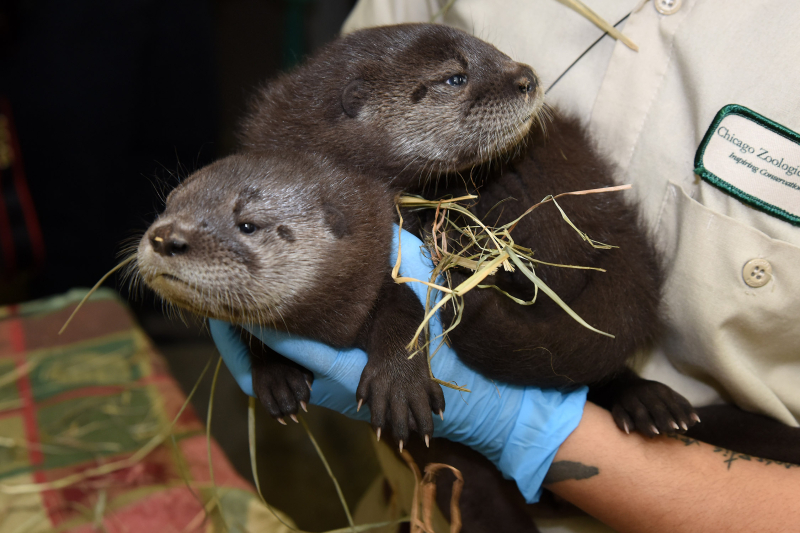 3_North American river otter pups (38 days old)