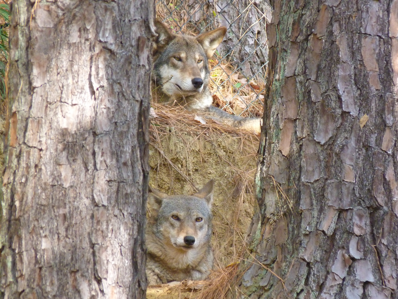8_Red wolf parent pair.Museum of Life and Science 1
