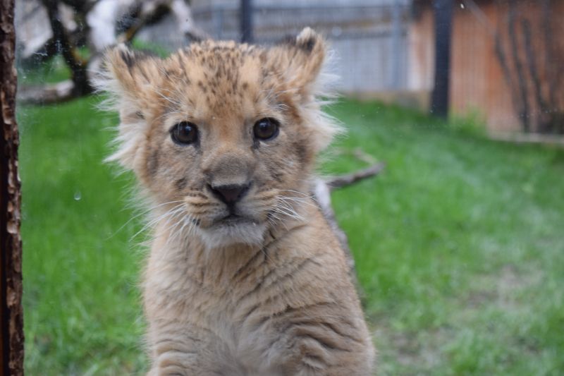 Zoo's New Lion Cub Bonds With Foster Mom