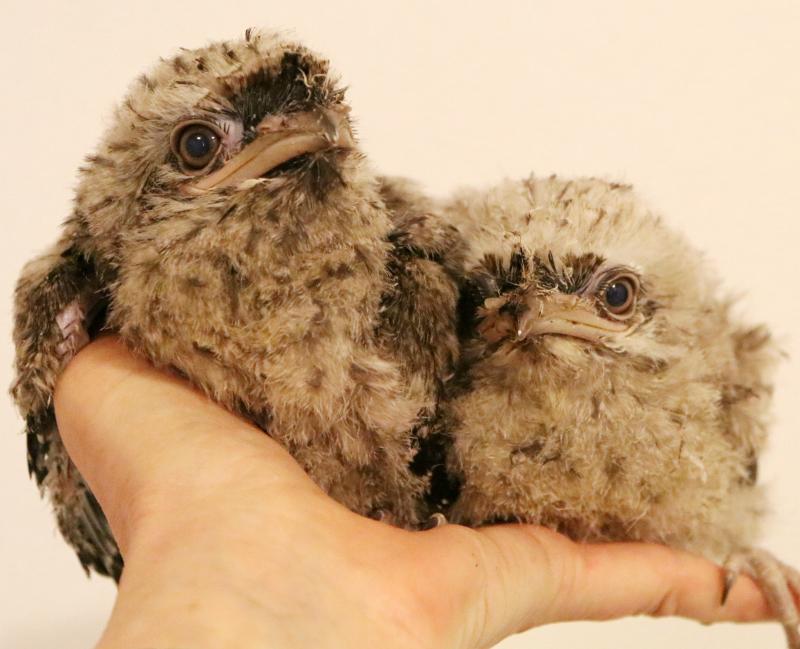 Tawny Frogmouth Chicks 2 - Paradise Park Cornwall
