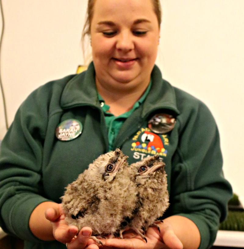 Tawny Frogmouth Chicks - Paradise Park Cornwall