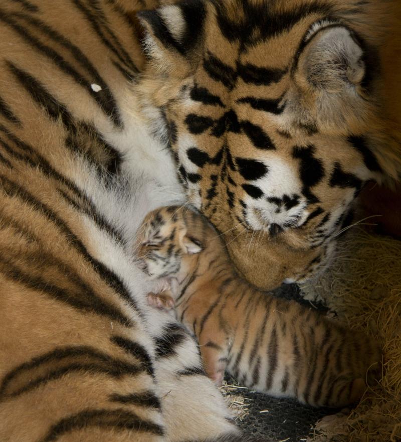 TigerCub Reunited 2