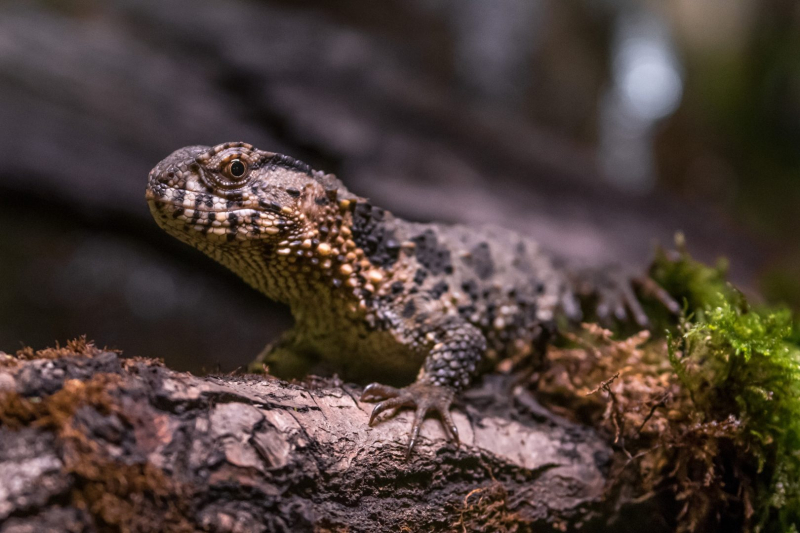 7_The Adult Chinese Crocodile Lizard (photo Callum O'Flaherty)