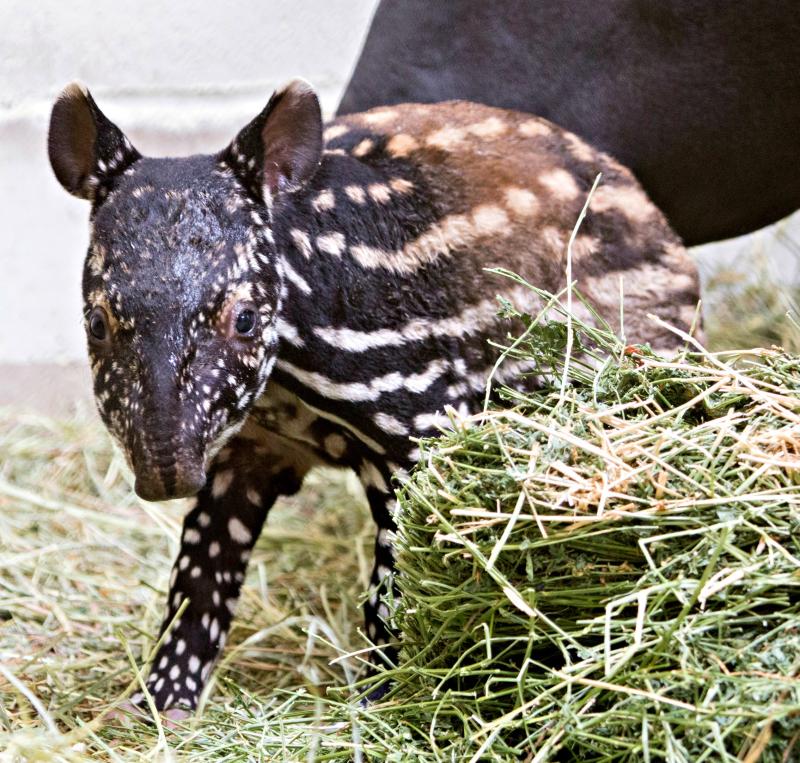Baby_tapir-Umi_01