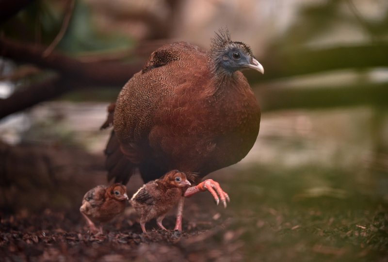 3_Rare pheasant chicks hatch in Chester Zoo first  (18)