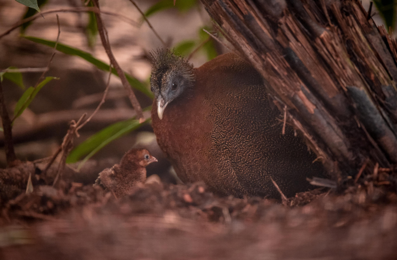 9_Rare pheasant chicks hatch in Chester Zoo first  (6)