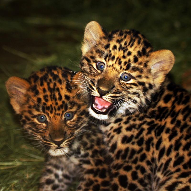 Leopardcubs1