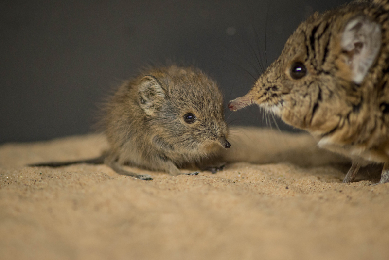 Tiny sengi twins born at Chester Zoo (8)
