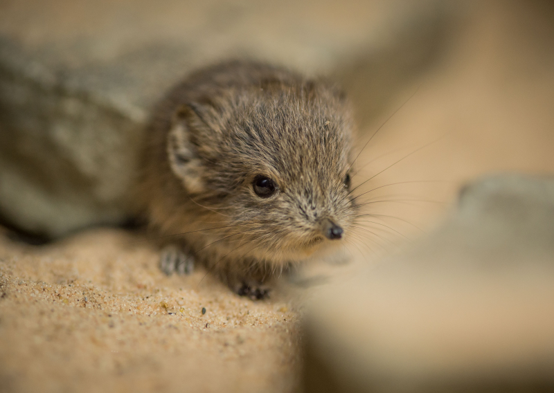 Tiny sengi twins born at Chester Zoo (19)