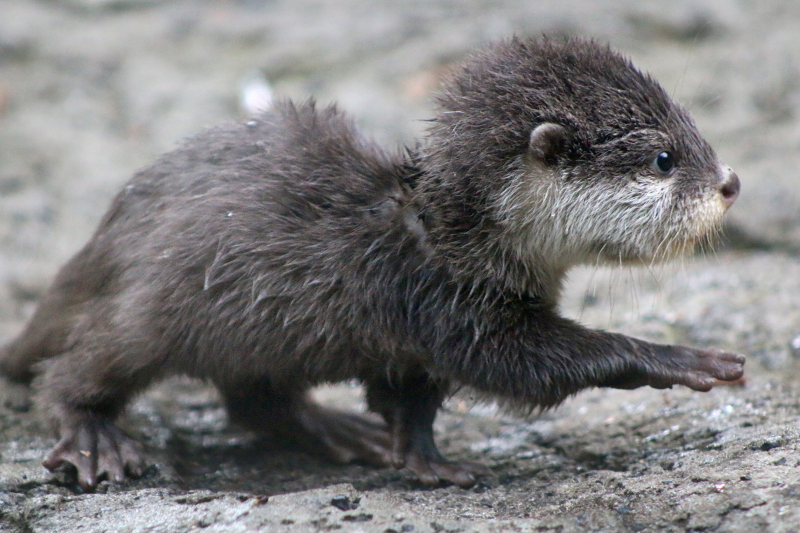 Otter Pup 5_Photo by Paul Fahy