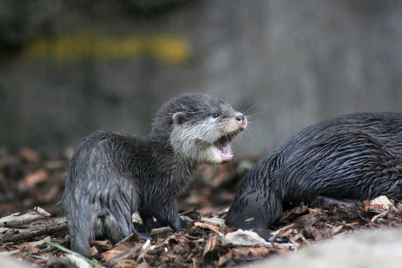 Otter Pup 9_Photo by Paul Fahy