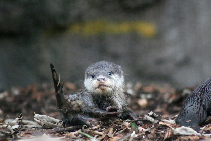 Otter Pup 10_Photo by Paul Fahy