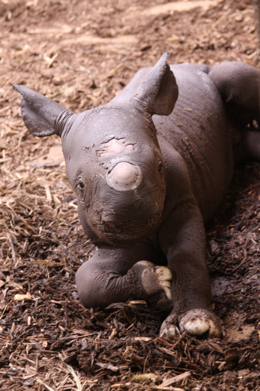 Black-rhino-Moyo_photo-by-Kathryn Pilgram-Kloppe Saint-Louis-Zoo_5-19-2017_web