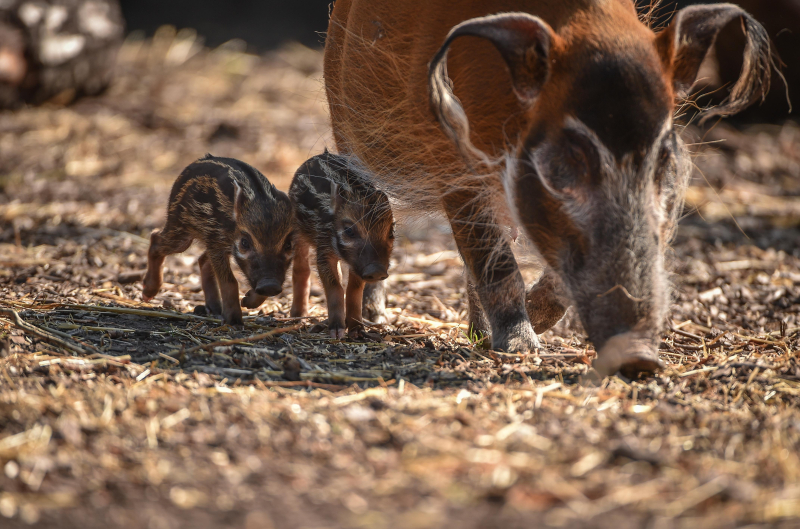 !Tiny trotters! Red river hog piglets born at Chester Zoo (13)