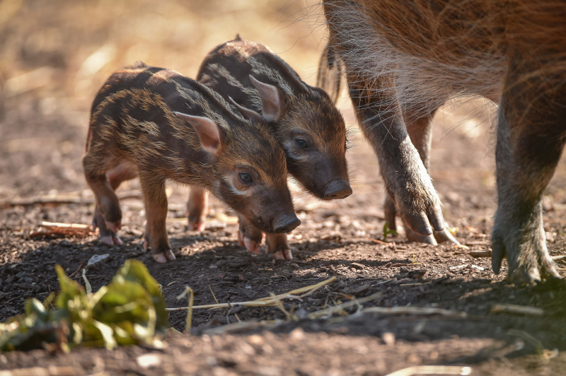 Tiny trotters! Red river hog piglets born at Chester Zoo (18)