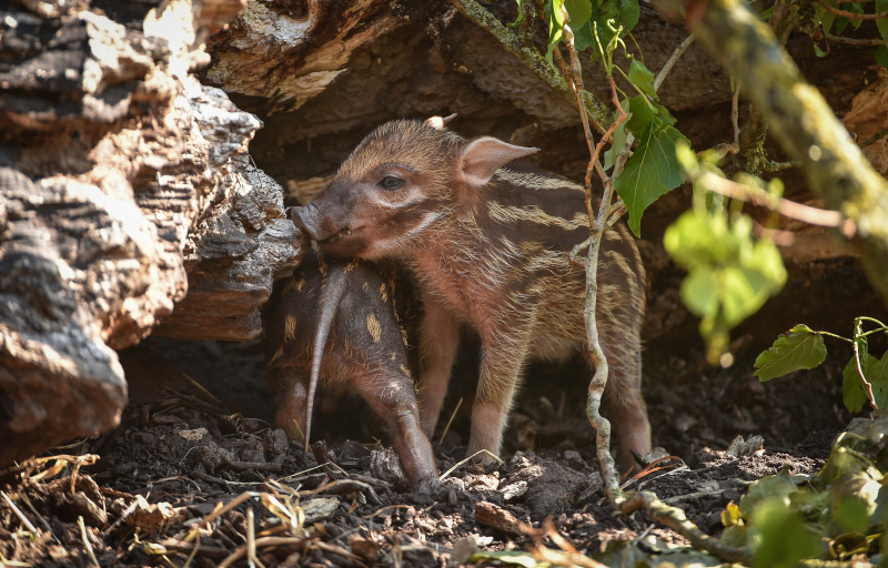 Tiny trotters! Red river hog piglets born at Chester Zoo (21)