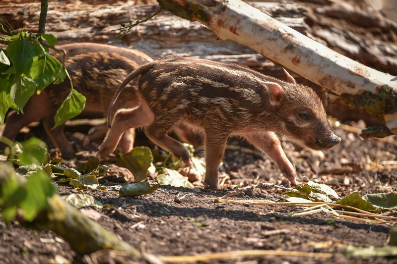 Tiny trotters! Red river hog piglets born at Chester Zoo (25)