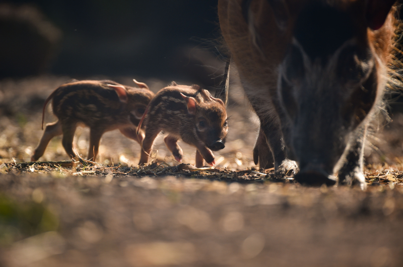 Tiny trotters! Red river hog piglets born at Chester Zoo (28)