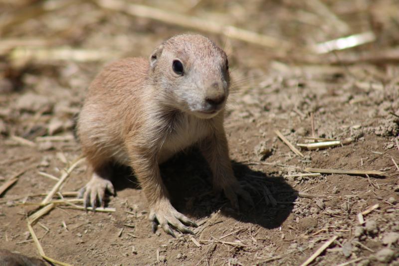 1_prairie dog pup (3)