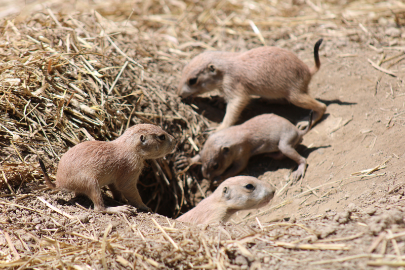 3_prairie dog pups