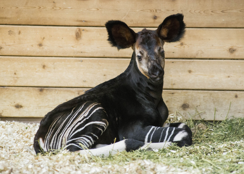 4_Brookfield Okapi 2