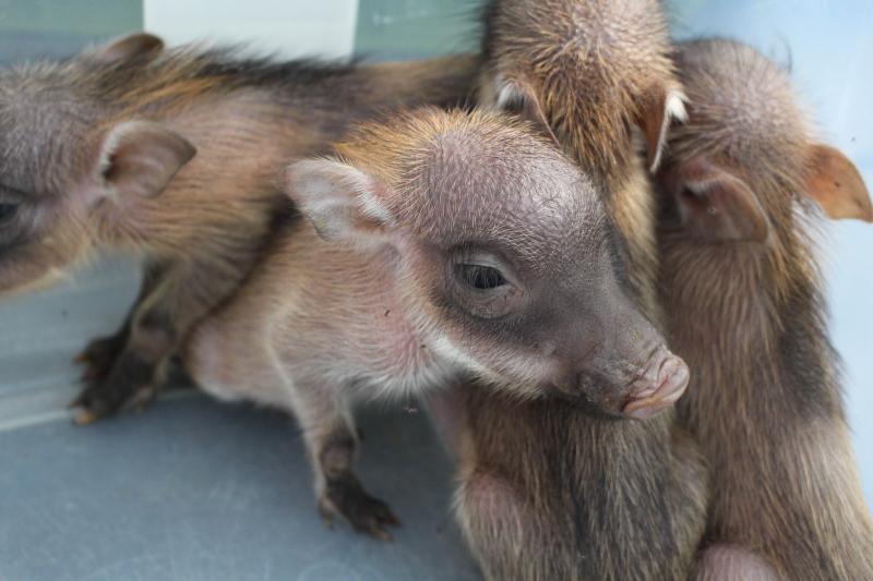 1_warthog piglets group