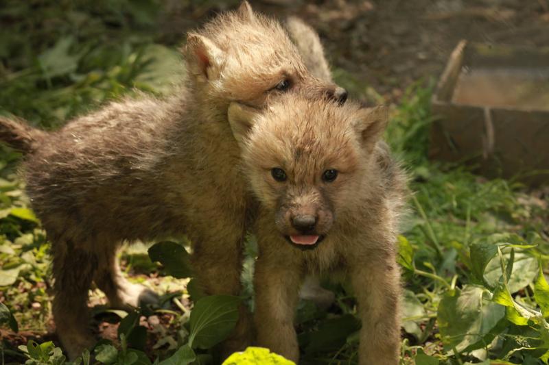 4_Zoo Brno Arctic Wolf pups