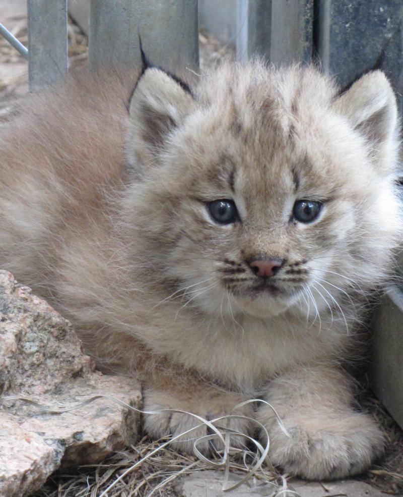 Lynx - ZooBorns