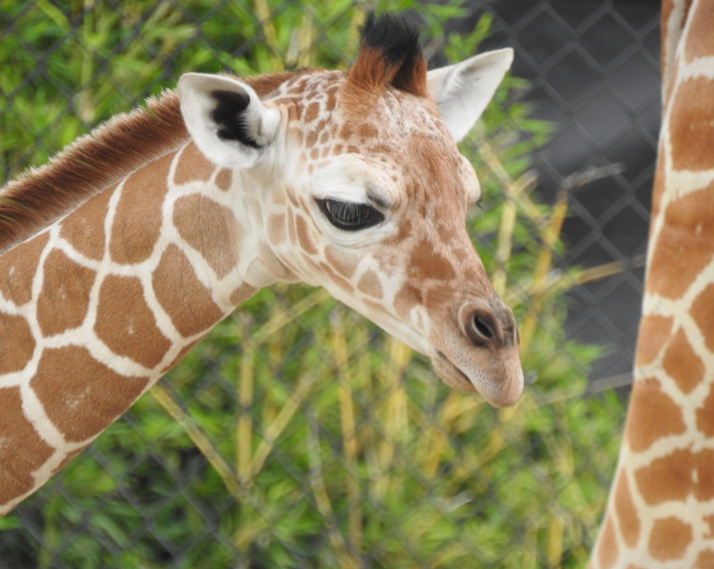 1_FWZ giraffe calf 1