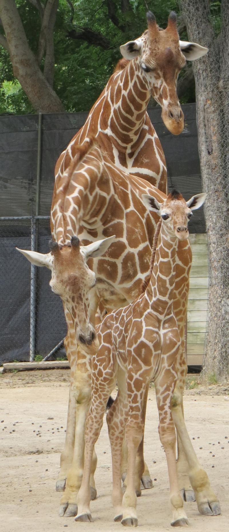 2_FWZ giraffe calf 3