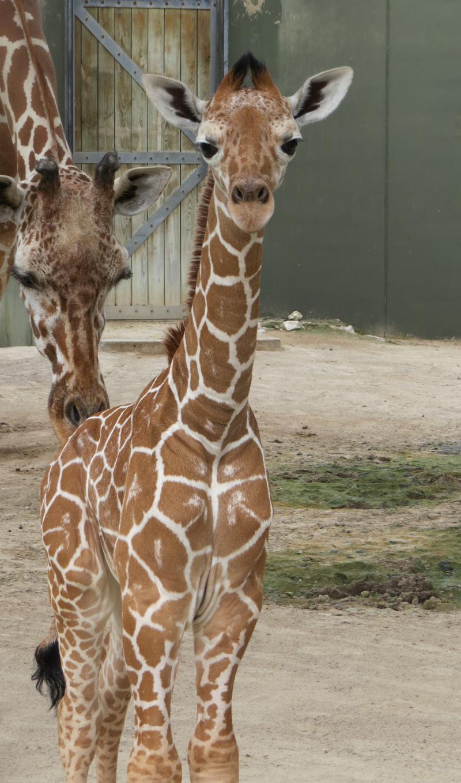 5_FWZ giraffe calf 5