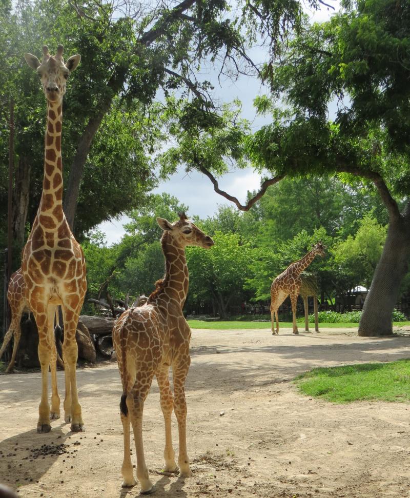 6_FWZ giraffe calf 7