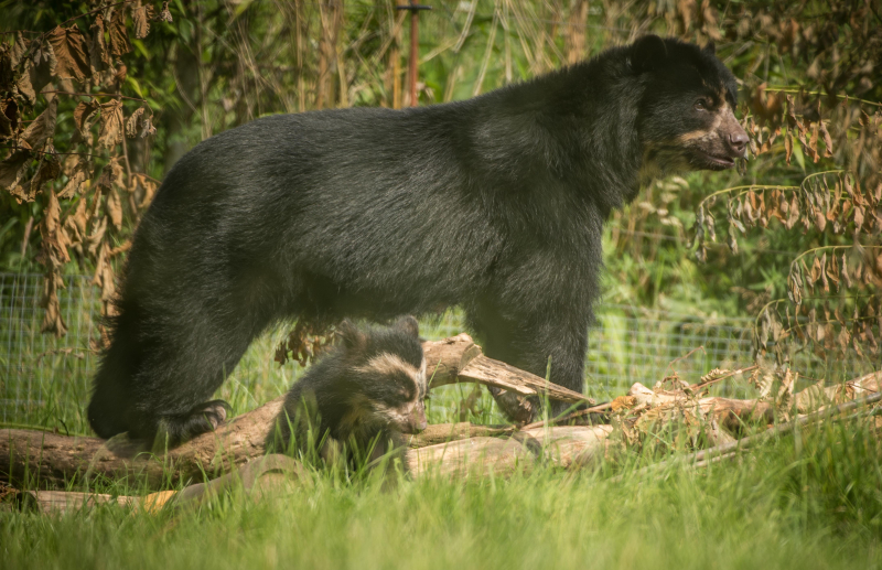 GB first. Rare Andean bear cub born to mum Lima at Chester Zoo (4)