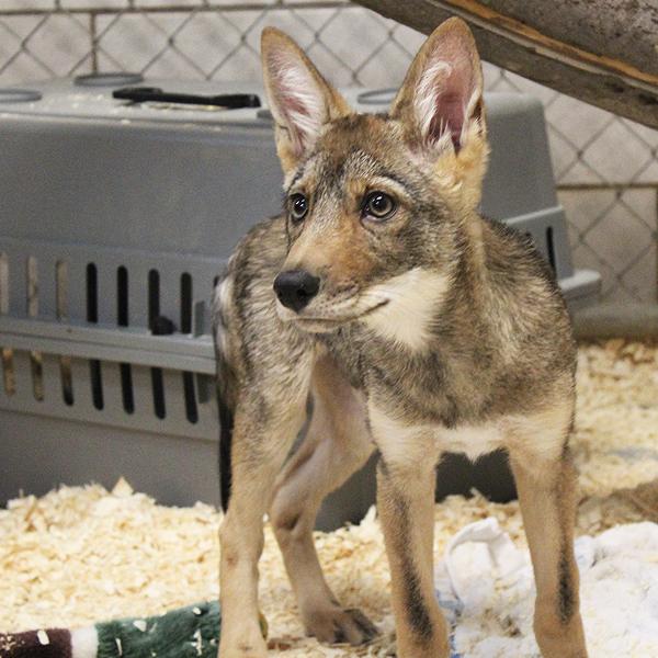 2_2017_animal_coyote2