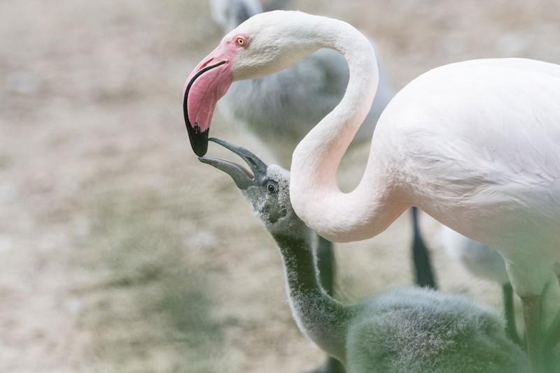 4_rosenroter_flamingo_ZO50993