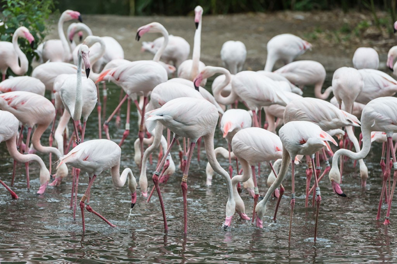 7_rosenroter_flamingo_ZOB0425