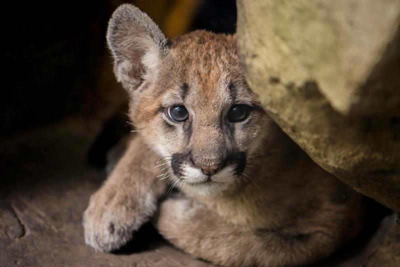 1_NEW Puma Cub 2017