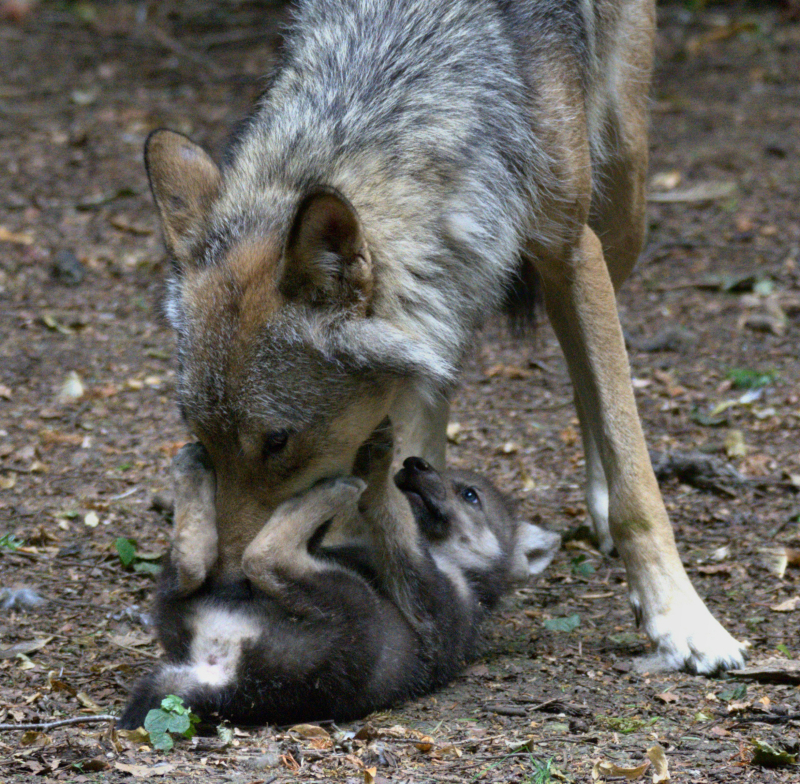Wolf cubs 20 Ash with cub
