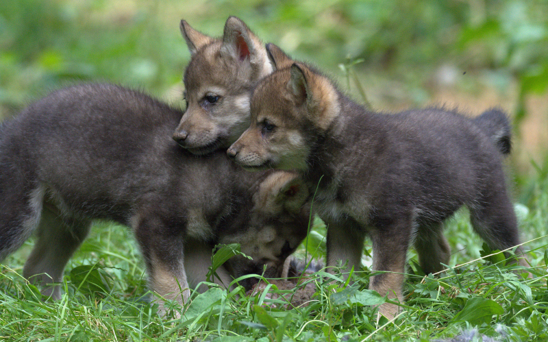 Wolf cubs 6