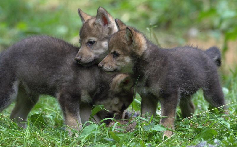Wolf cubs 6