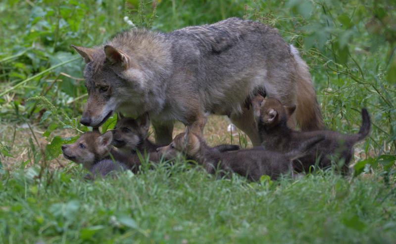 Wolf Cubs 9