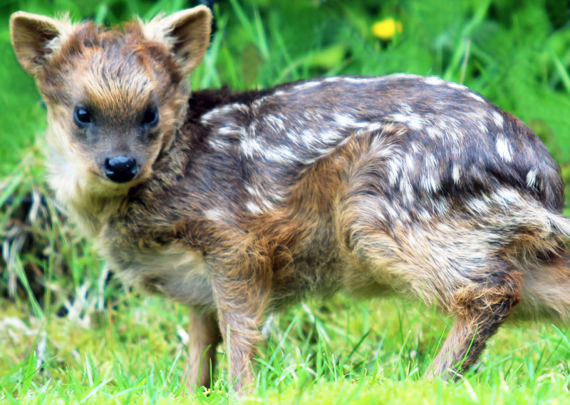 (1)  Belfast Zoo keepers have said 'hello deer' to the latest arrival as the world's smallest deer  the Southern pudu  has given birth!