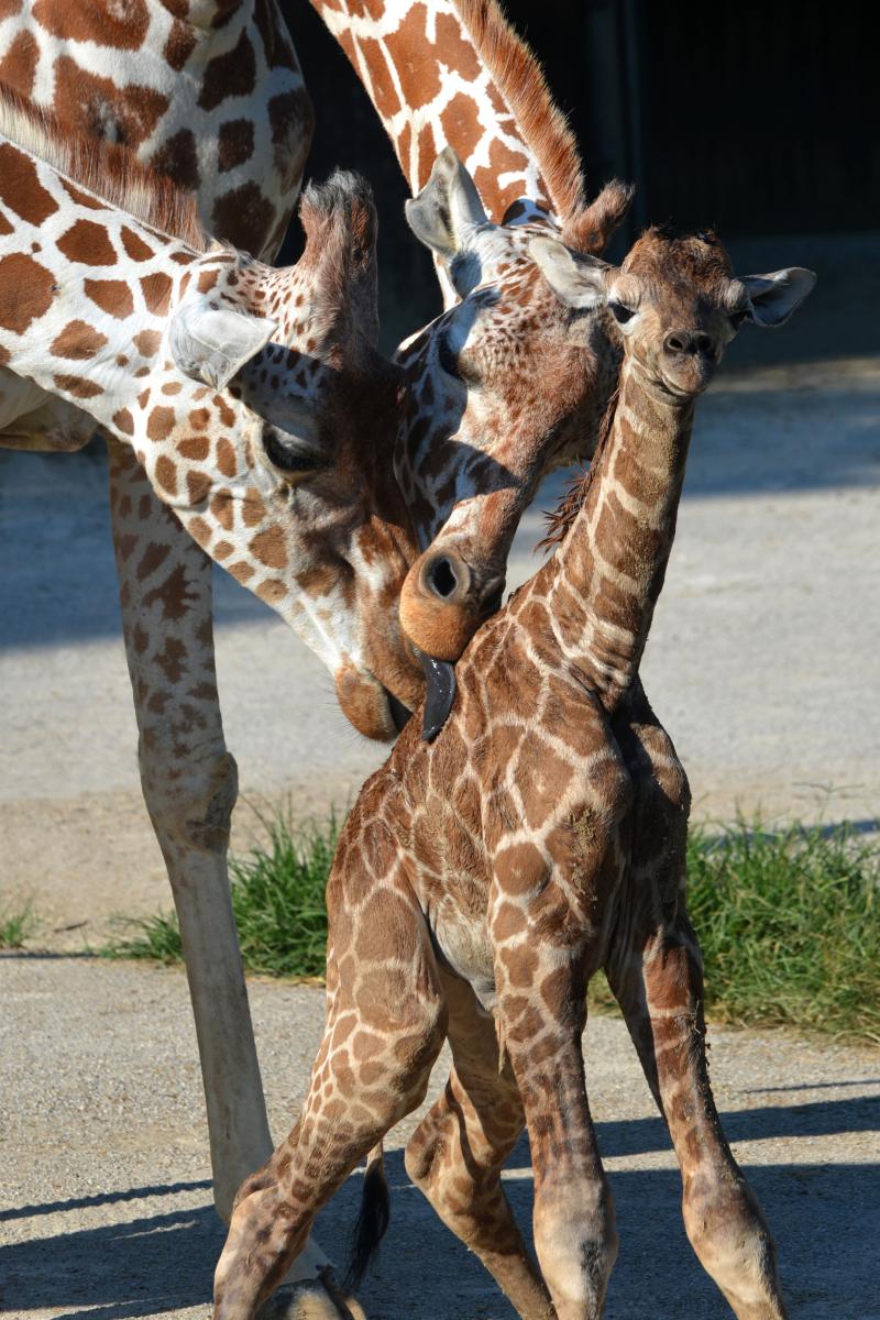 Memphis Zoo_Baby Giraffe