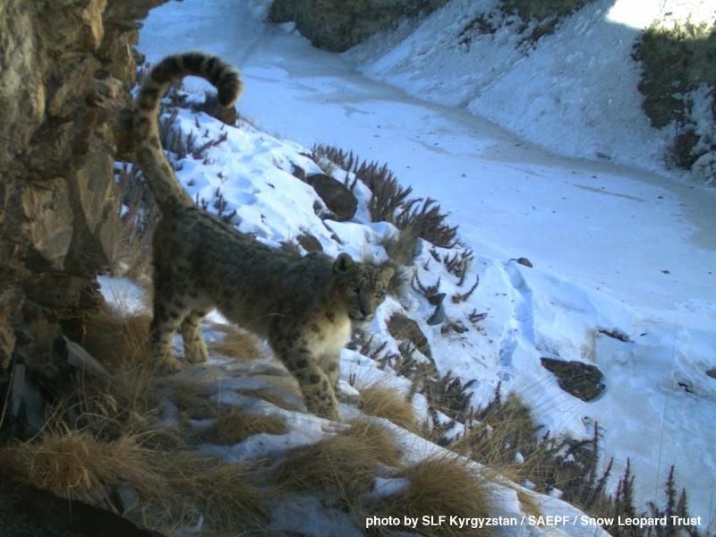 8_Kyrgyzstan-Cat-Web-2017-2